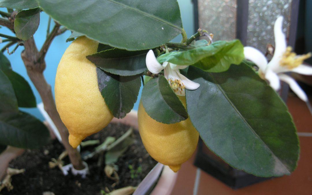 Ayurveda Tipp: Die Zitrone im Sommer
