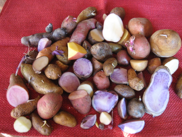 Alte Raritäten Saatkartoffel aus dem Südburgenland