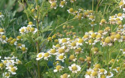 Mutterkraut – Tanacetum parthenium